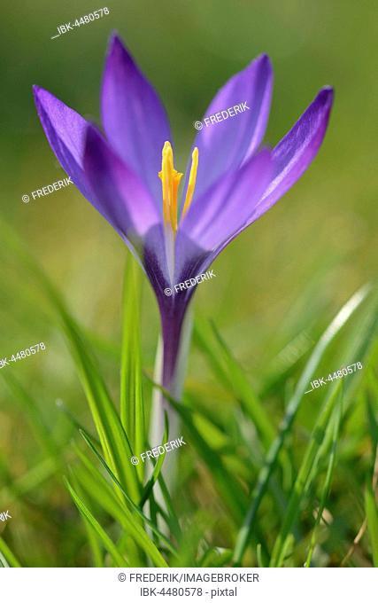 Crocus (Crocus sp.), violet flower, North Rhine-Westphalia, Germany
