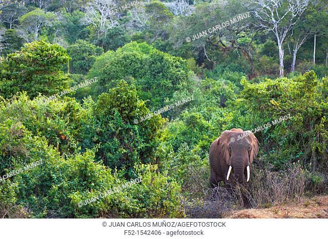 African elephant (Loxodonta africana), Aberdare National Park, Kenia, Africa