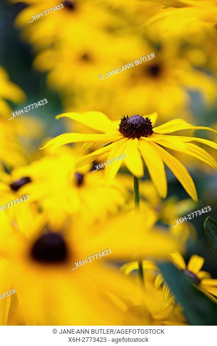 a feel good display of Summer rudbeckia, coneflower or black-eyed susan