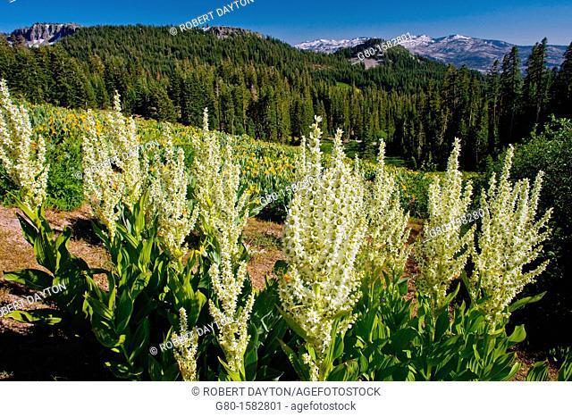 Wildflowers bloom on Barker Peak in the Lake Tahoe region