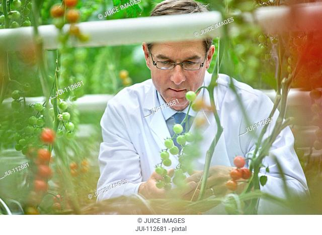 Food scientist examining tomatoes ripening on vine