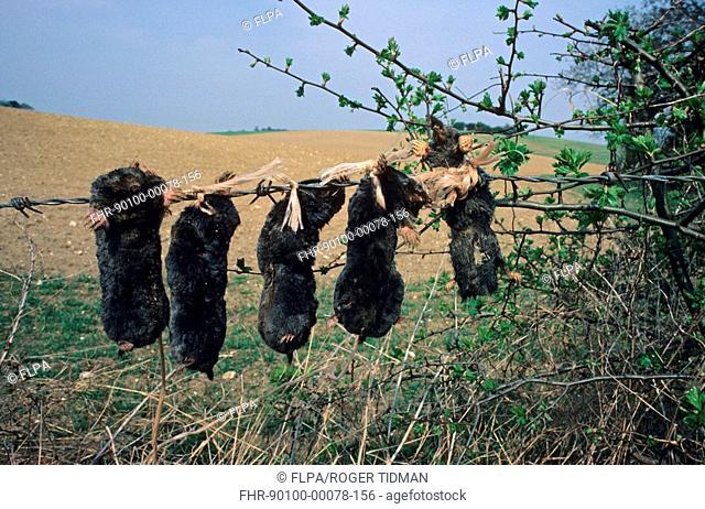Dead mammals, dead trapped European Mole Talpa europaea, five hung on fence, England