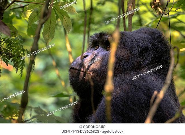 Uganda, Bwindi Impenetrable National Park, Bwindi Impenetrable Forest, mountain gorilla. (Gorila beringei beringei)