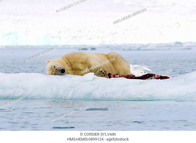 Norway, Svalbard, Spitsbergern, Polar Bear (Ursus maritimus) with pieces of a killed seal and Ivory Gull