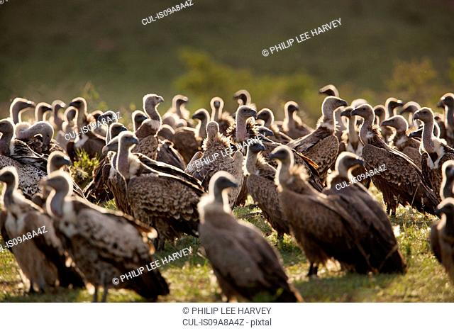 Vultures wait in the early morning to scavenge on a kill being protected by a lioness in Cottars Conservancy, Kenya