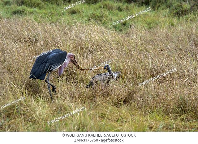 A White-backed Vulture (Gyps africanus) and a marabou stork (Leptoptilos crumenifer) fighting over a piece of a wildebeest killed by a spotted hyena (Crocuta...