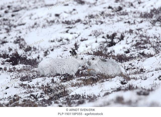Mountain hare couple / Alpine hare / snow hares (Lepus timidus) in white winter pelage on hillside, Cairngorms NP, Scotland, UK