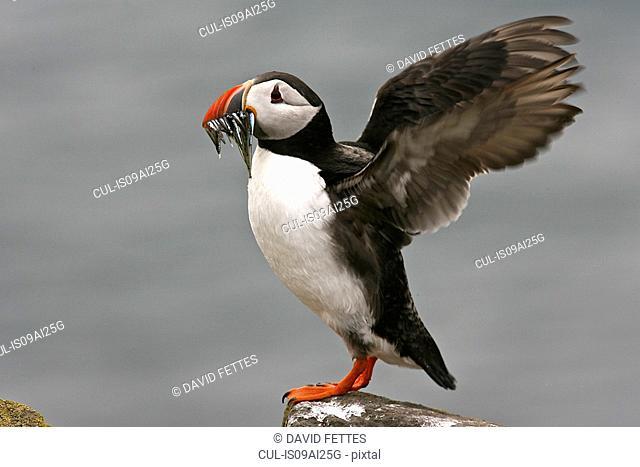 Puffin - (Fratercula arctica) carrying fish in its beak