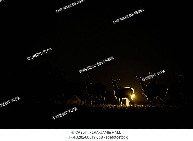 Fallow Deer (Dama dama) does and fawns, herd silhouetted by streetlight in city at night, London, England, August