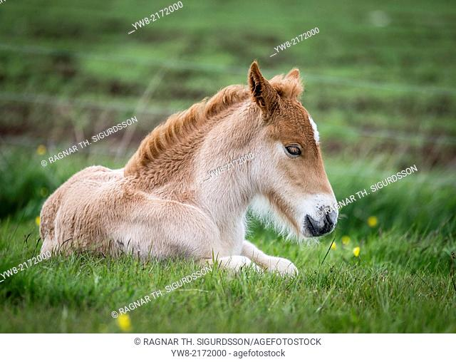 New born foal, Iceland