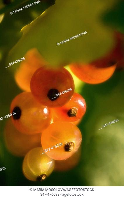 Red currant berries ripening on a bush (Ribes rubrum). Maryland, USA