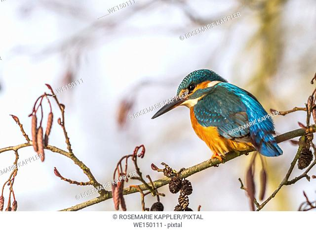 germany, saarland, dillingen - A kingfisher is sitting on a branch