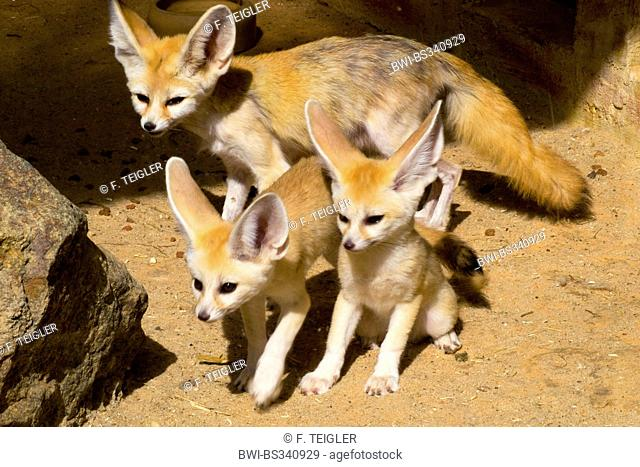 fennec fox (Fennecus zerda, Vulpes zerda), mother with two cubs standing in the sand among rocks