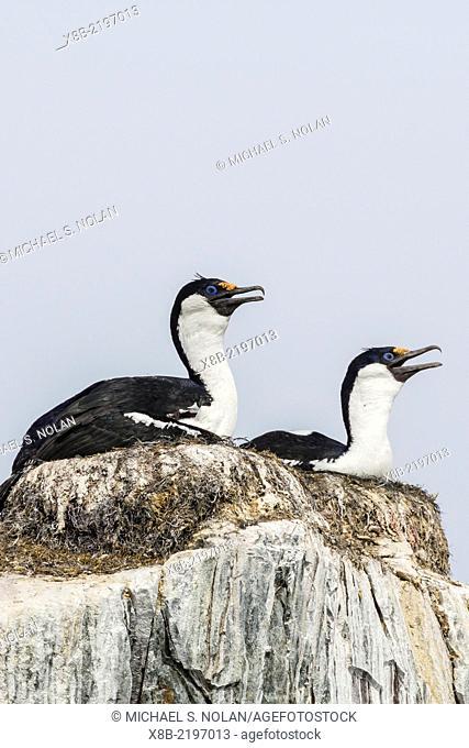 Antarctic shags, Phalacrocorax [atriceps] bransfieldensis, nesting chicks on Petermann Island, Antarctica