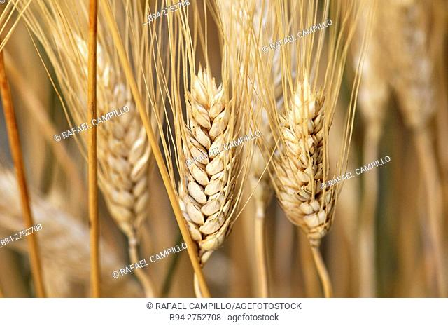 Cereal. Wheat ears