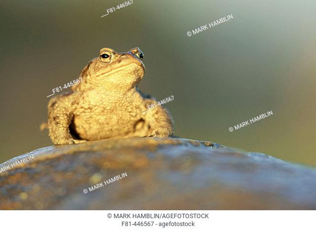 Common Toad (Bufo bufo) adult male sat on rock in late evening light. Scotland