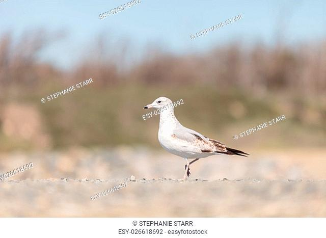 California Gull Larus californicus walks across sand at the Bolsa Chica wildlife preserve in Huntington Beach, Southern California, United States