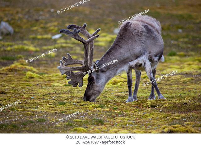 Svalbard Reindeer, Rangifer tarandus platyrhynchus in Ny-Alesund, Svalbard. There's about 10,000 Svalbard reindeer, a small subspecies of mainland European...