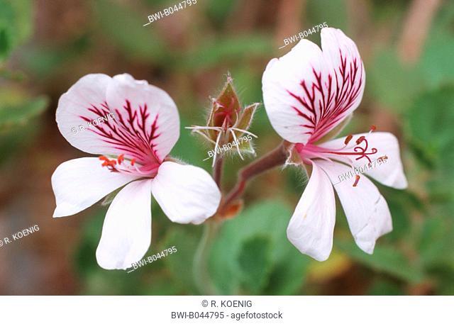 camphor-scented pelargonium (Pelargonium betulinum), detail of the blossoms