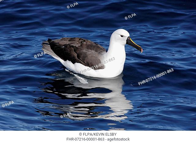 Indian Yellow-nosed Albatross (Thalassarche carteri) adult, resting on sea, Woollongong, New South Wales, Australia, August