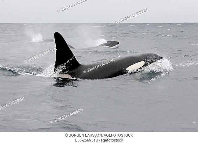 Killer whale (Orcinus orca), Andenes, Norway