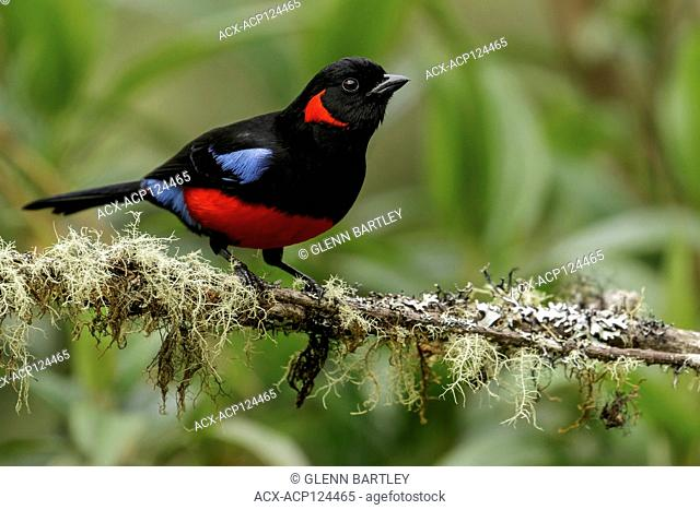Scarlet-bellied Mountain-Tanager (Anisognathus igniventris) perched on a branch in the Andes mountains of Colombia