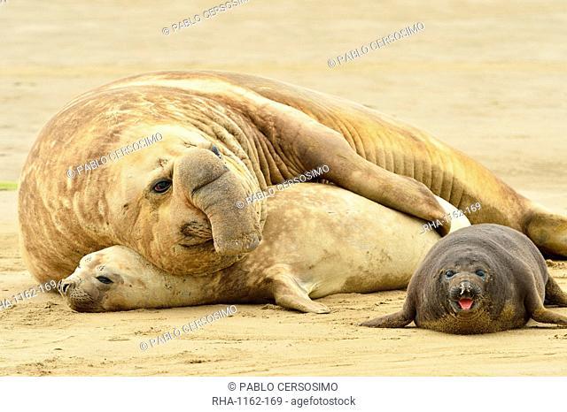 Southern elephant seal (Mirounga leonina) adult male and female maiting, Peninsula Valdes, Patagonia, Argentina, South America