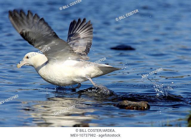 Fulmar - taking off from water (Fulmarus glacialis)