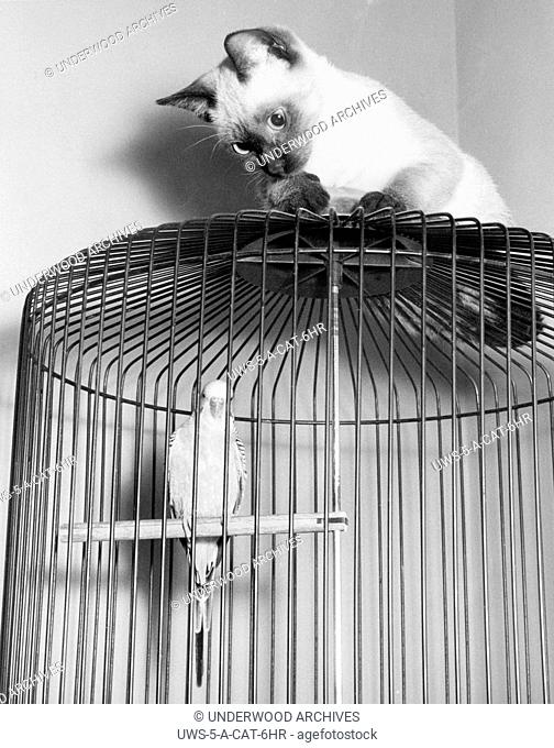 United States: c. 1960.The parakeet in a cage and the cat on top