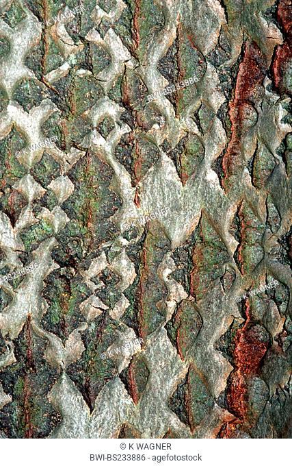 white poplar, silver-leaved poplar, abele Populus alba, bark