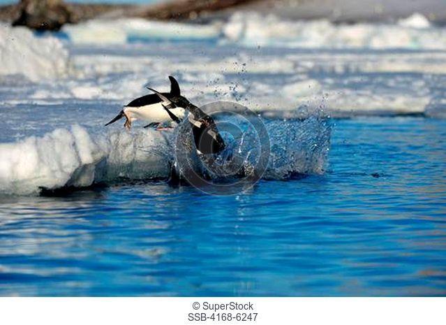 ANTARCTICA, ANTARCTIC PENINSULA, PAULET ISLAND, ADELIE PENGUINS Pygoscelis adeliae ON ICEFLOE, JUMPING INTO WATER SEQUENCE OF 12 PHOTOS