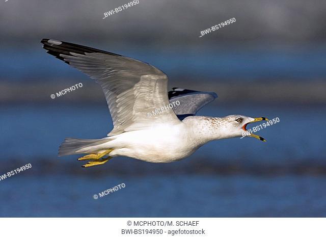 ring-billed gull (Larus delawarensis), calls flying, USA, Florida