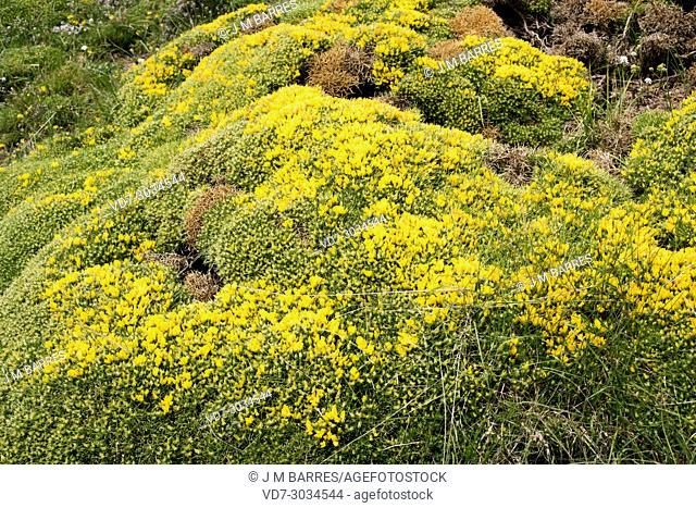 Horrible broom (Echinospartum horridum or Genista horrida) is a cushion-like thorny shrub endemic to Central Pyrenees and French Central Massif