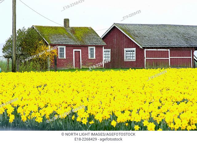 USA, WA, Mt Vernon. Field of daffodil flowers. Grown commercially for their bulbs