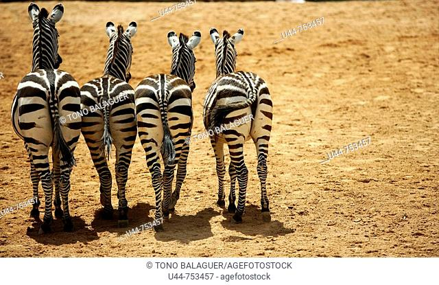 Four funny sister zebras