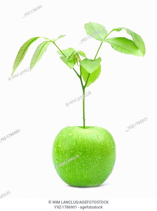 Green apple tree on white background