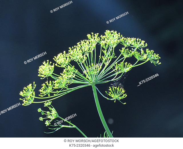 Head of dill