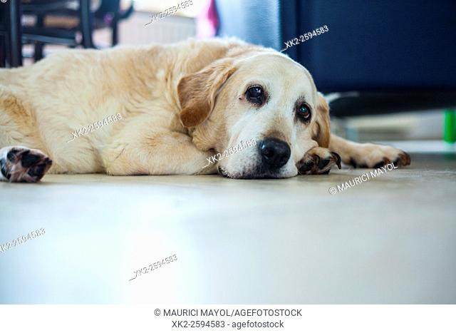 Ancient Golden labrador sitting on the floor