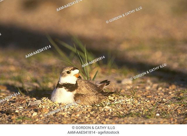 Piping Plover on nest (Charadrius melodus) Lake McConaughty NE