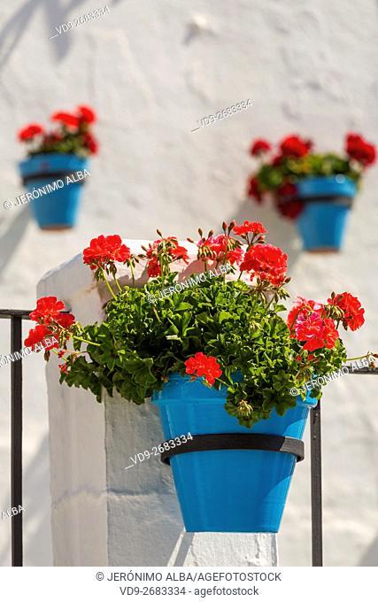 Geranium flowers in a pot. White Village of Mijas, Malaga province, Costa del Sol, Andalusia, Spain Europe