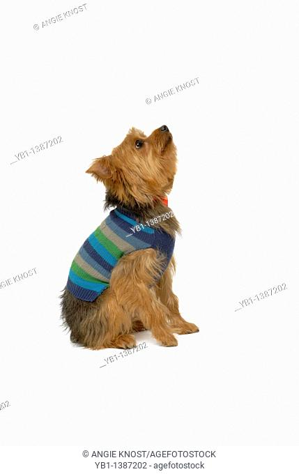 Yorkshire terrier or Yorkie dog, on white background