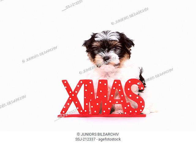Biewer Terrier. Puppy (8 weeks old) sitting next to the letters XMAS. Studio picture against a white background. Germany