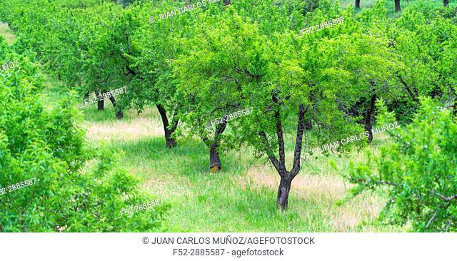 Almond trees, The Ports Natural Park, Terres de l'Ebre, Tarragona, Catalunya, Spain