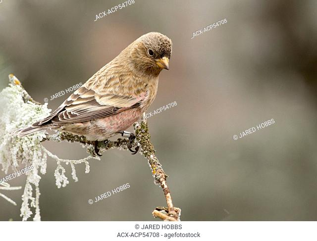 Brown Capped Rosy Finch, Leucosticte australis, Sandia Crest, Albuquerque, New Mexico, USA