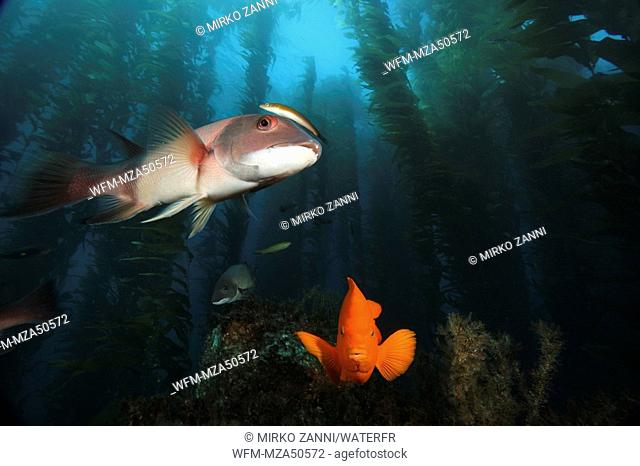 Garibaldi Fish and Californian Sheaphead Wrasse in Kelpforest, Hypsypops rubicundus, Semicossyphus pulcher, Santa Catalina Island, Channel Islands, Pacific