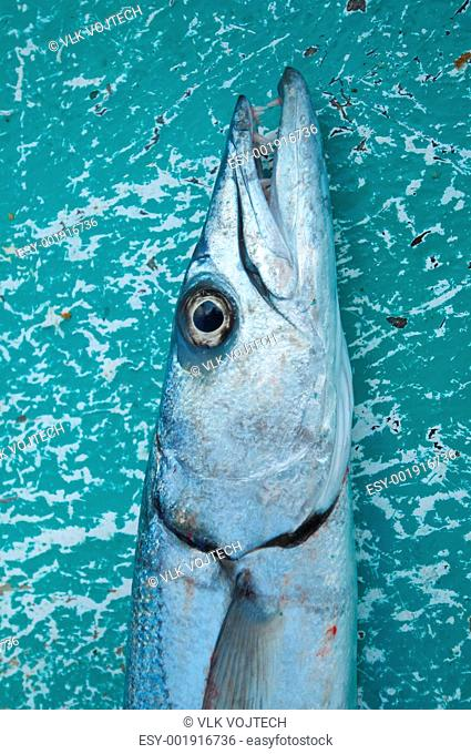 Picture of a fish called baracuda