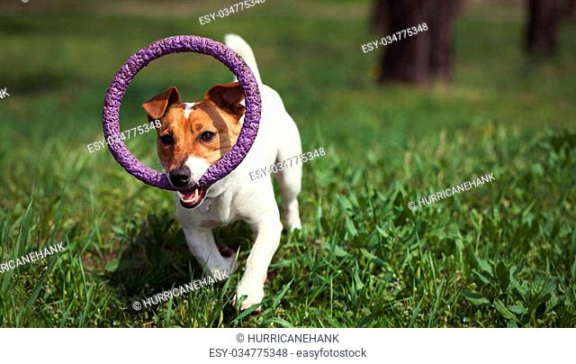 Jack russell terrier puppy pink Stock Photos and Images