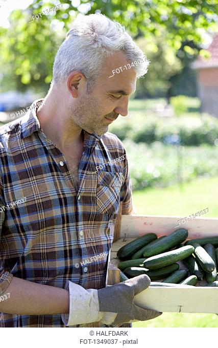Mature man with crate of harvested cucumbers at vegetable garden