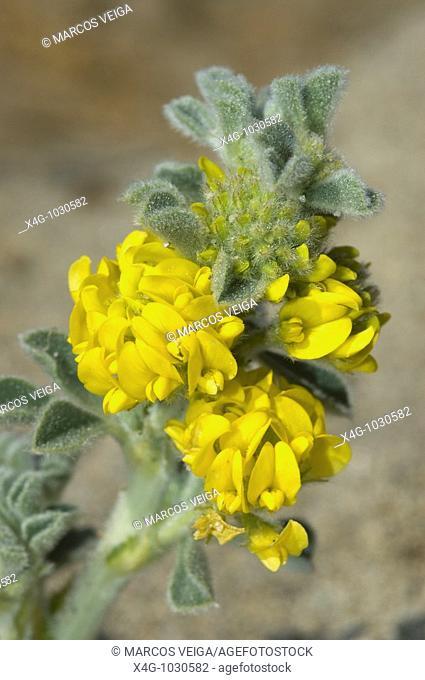 Flor de mielga marina en las dunas, Sea alfalfa or sea medik flower on sand dunes, Medicago marina, Pontevedra, España