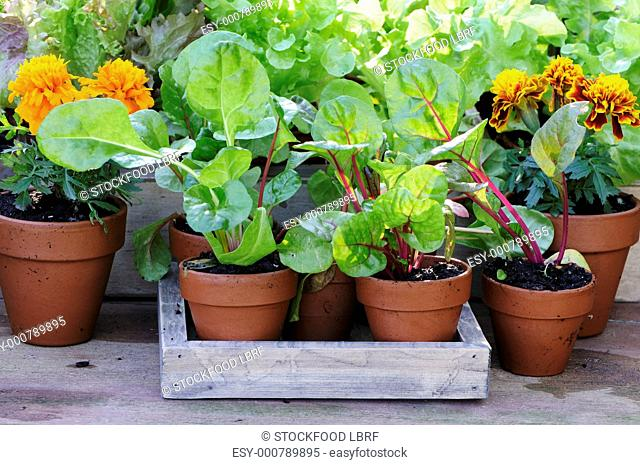 Herb and vegetable plants in pots